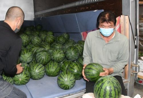 """Nakijin Watermelon announces a """"banner year"""" with a strong harvest of their sweet fruit"""