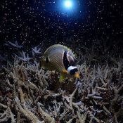 Coral spawning on the same night as super moon lunar eclipse, alignment of ocean and cosmos