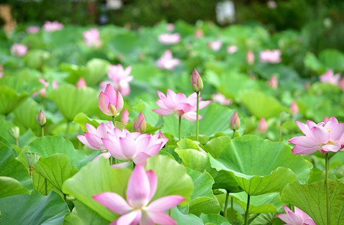 Lotus flowers announce the arrival of summer in the water garden at Okinawa's Southeast Botanical Gardens