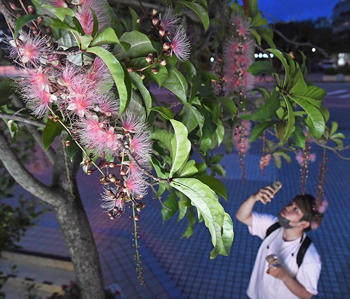 The scent of powder puff flowers wafts through the streets on summer nights in Naha City