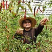"""Heat up your summer with """"Okinawa southern chilies,"""" now in peak harvest season!"""