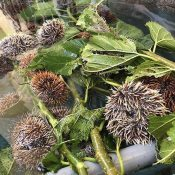 Sea urchins found to grow rapidly when raised with Shimaguwa leaves, and the Urasoe Ginowan Fishery Cooperative is looking to capitalize