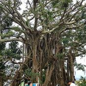 In Iejima, students learn of two soldiers who lived in a tree for two years, not knowing the war was over