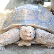 Why did the tortoise cross the road? Ginowan police receive an interesting call about a tortoise on the loose