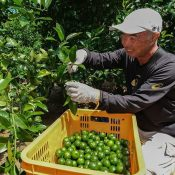 Refreshing! Time to Harvest Unripe Shikuwasa