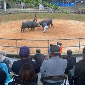 Police dispatched to apprehend 700 kg. fighting bull, but have trouble moo-ving it back to its home